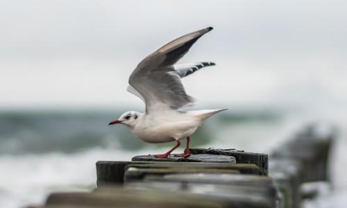 Moewe beim Start in die Ostsee